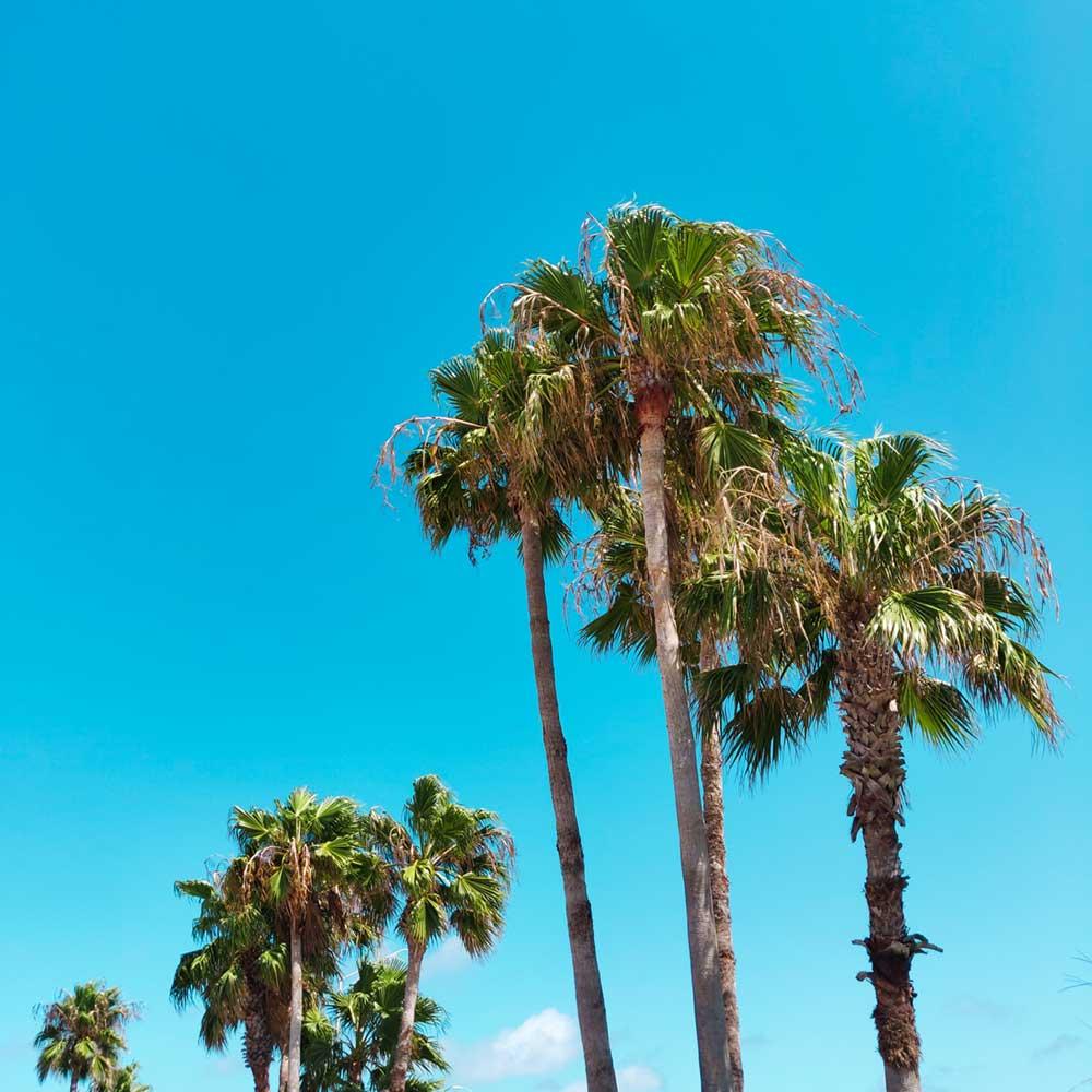 Corpus christi palm trees